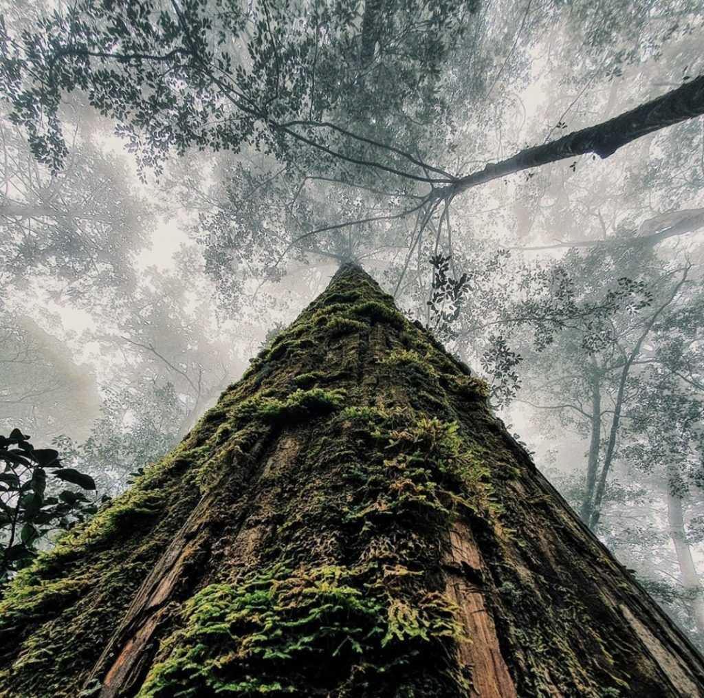 大雪山國家森林遊樂區 -雪山神木