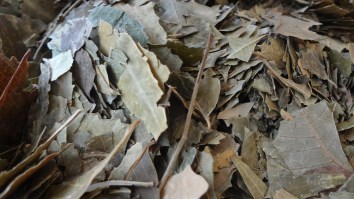 Neem-bladeren