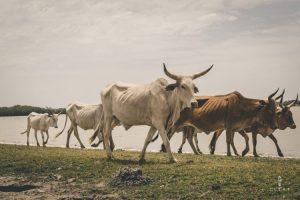 Groups of cows in Senegal