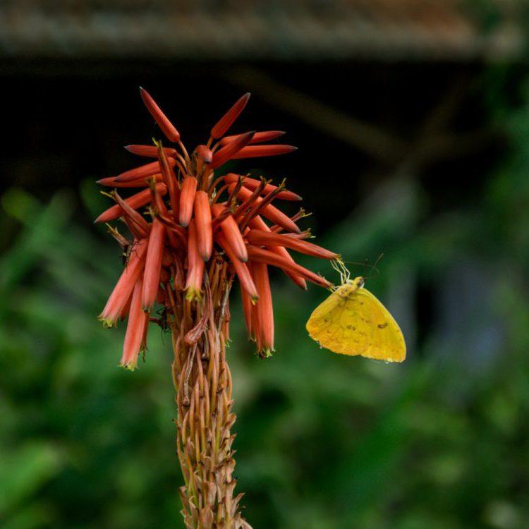 Vlinder Brazilië