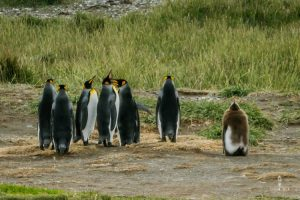 King penguins colony with a cub in Chile