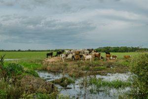 Cows in el chaco