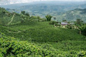 Coffee fields in Colombia