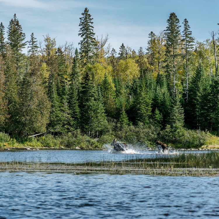 moose running through the water on the Northern Forest Canoe Trail