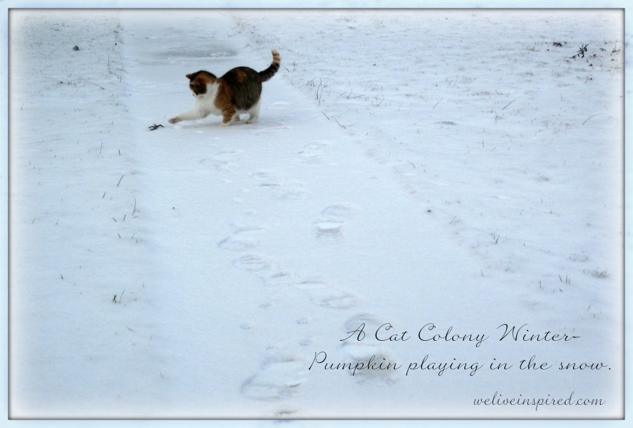 Feral Cat Playing in the Snow