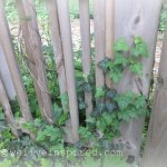 Ivy Growing up Garden gate
