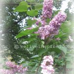Purple Lilacs Growing