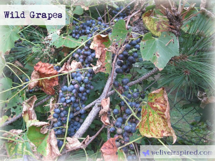 Clusters of Wild Grapes Growing-weliveinspired.com