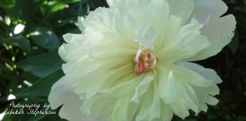 white peony copyrighted image