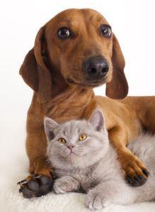 kitten and dog dachshund photo