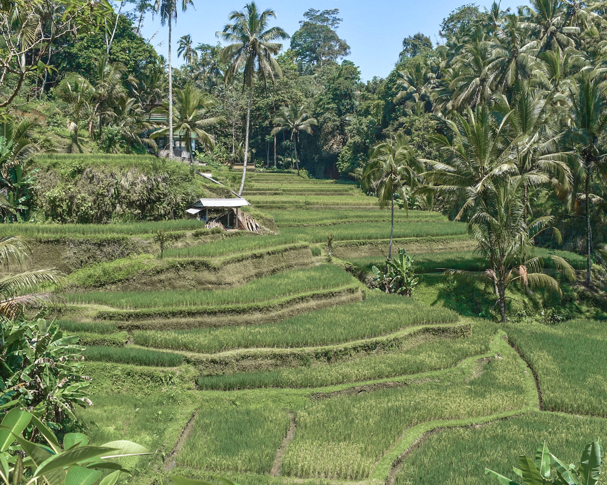 Rice Fields in Ubud, Bali, Indonesia