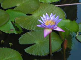 _water_lily