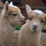 In defence of old goats, and a new Kickstarter initiative