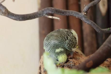 Wellensittich Smeralda Korkröhre