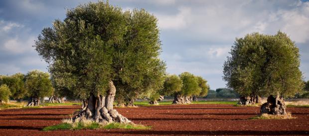 ulivi di Borgo Egnazia
