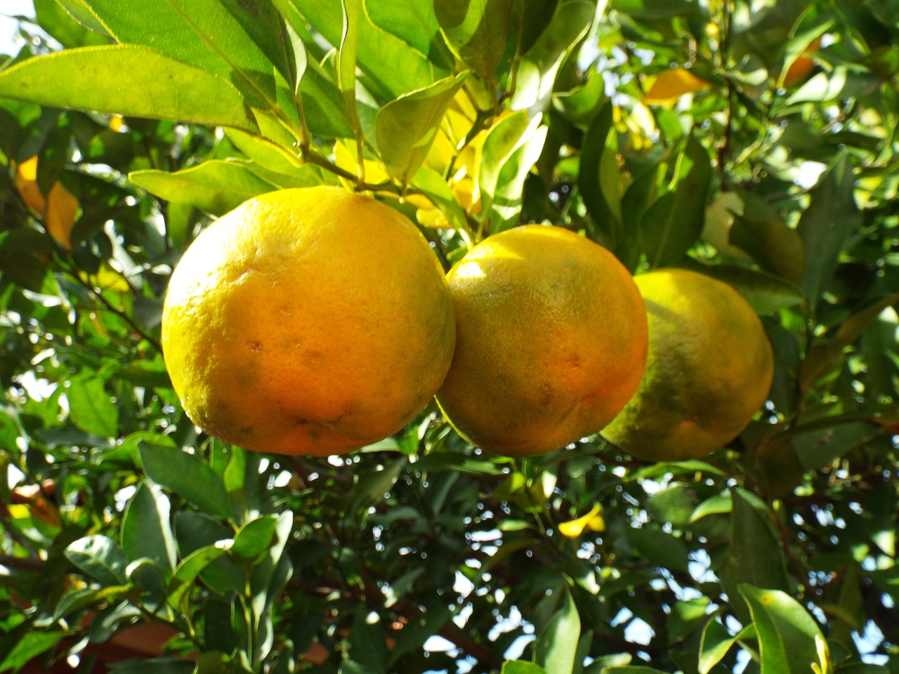 From Brunch to Obsession: Bergamot Oranges