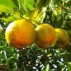picture of bergamot oranges on tree