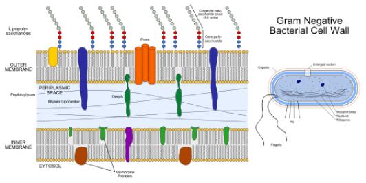 célula gramnegativa wal.png