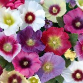 Colorful Hollyhocks