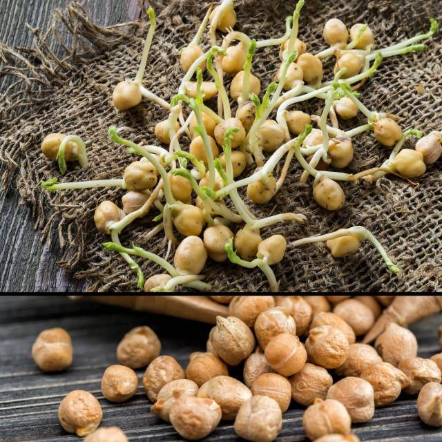 Sprouting Seeds- Chickpeas