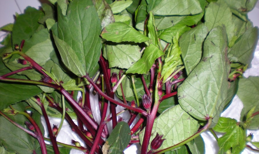 Gongura Leaves Impart Tart Flavor to Andhra Recipes