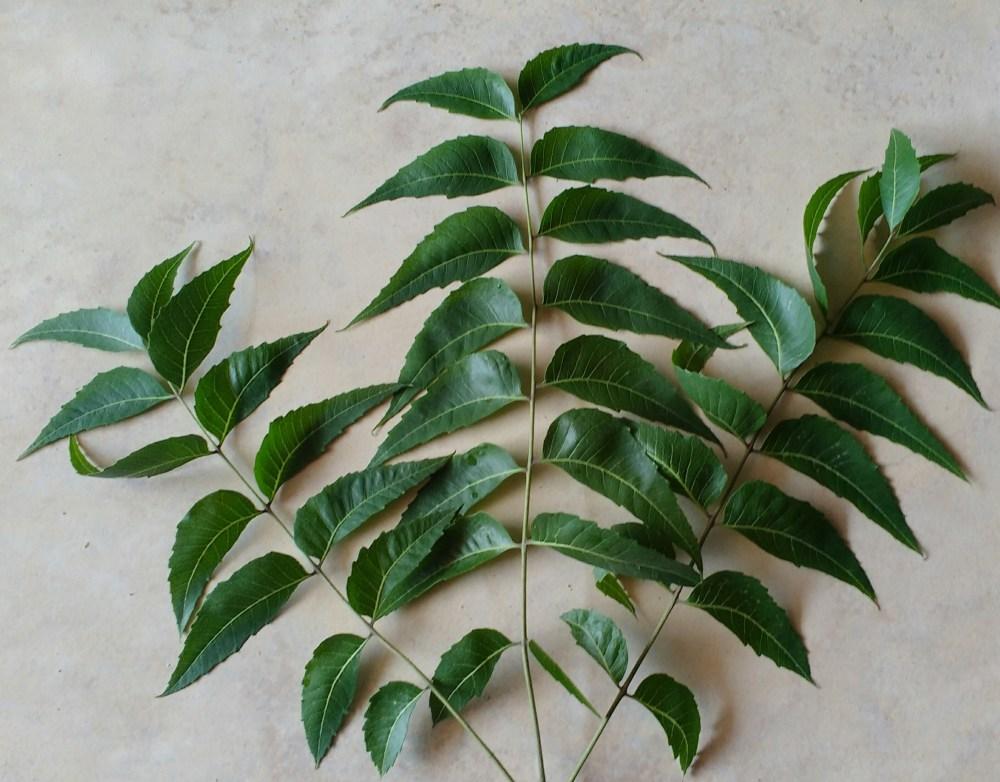 Neem leaves 2