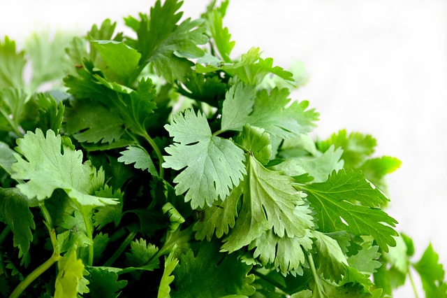 Coriander leaves - A wonder herb 1