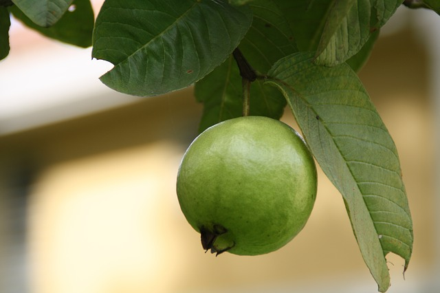 Guava fruit 6