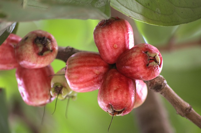 Guava fruit 1