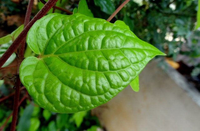 Why should you chew paan or betel leaf 7