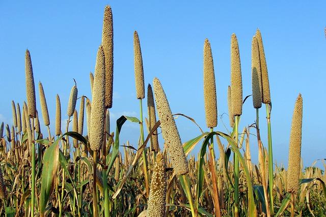 millet benefits 6