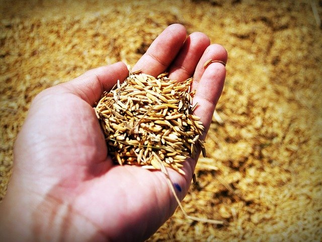 Which is the best rice for diabetic patients -rice before removing the husk- the outer layer