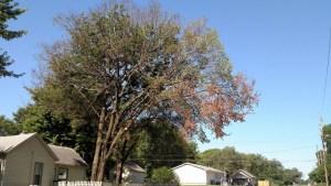 Advanced Dutch Elm Tree Topeka Emporia