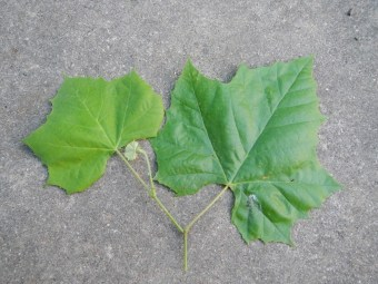 Healthy Sycamore Leaf
