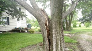 Hackberry with three co-dominate stems