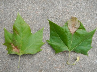 Necrosis of the veins and leaf