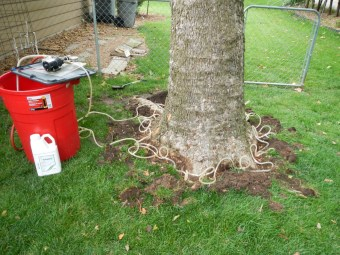 Sycamore anthracnose Injection