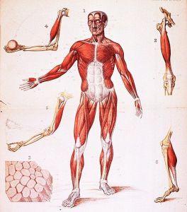 little mice - skeletal muscles