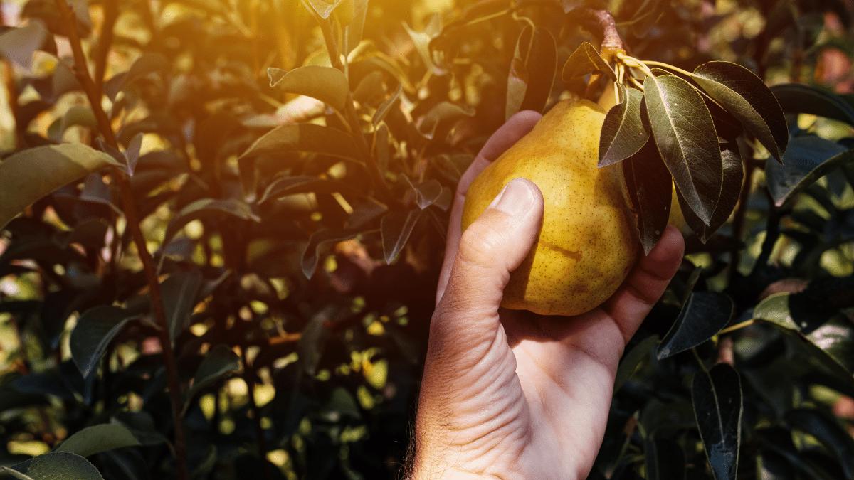 Pear is ripe
