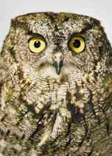 Cure, a western screech owl