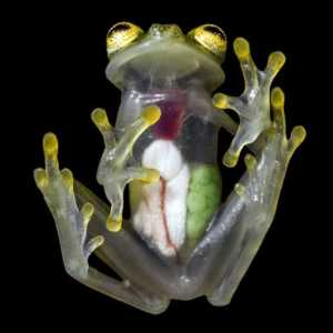 A translucent glass frog