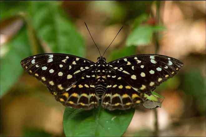 Image of Archduke (Lexias pardalis dirteana) butterfly in its baby caterpillar state.