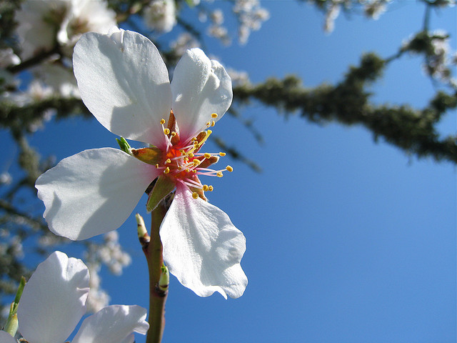 almond blossom, via Flickr