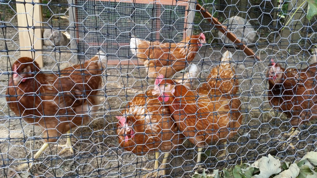 Synagogue Chickens
