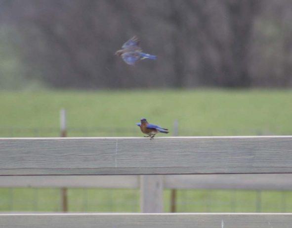 bluebirdslanding
