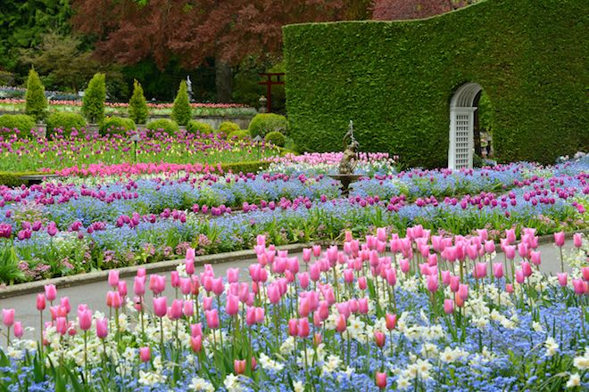 Fields of tulips - Image credit the Butchart Gardens.