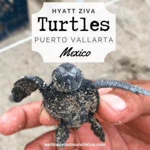 Turtles in Puerto Vallarta, Mexico