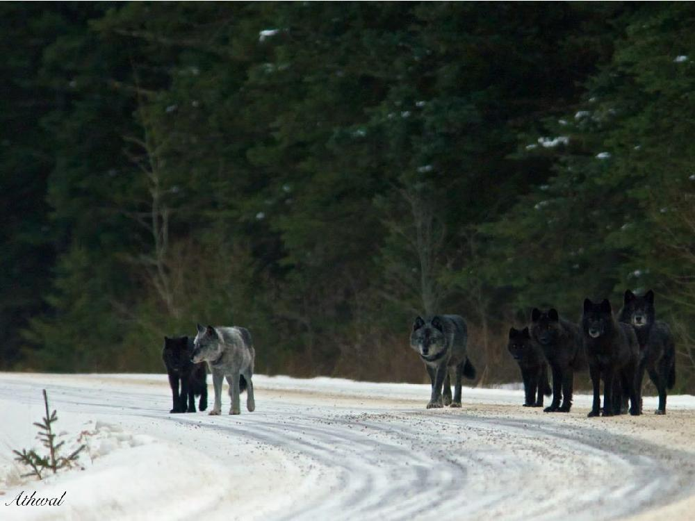 Image result for In 1995, the US Fish and Wildlife Service, along with Canadian biologists, captured 14 wolves in Canada and placed them in Yellowstone National Park, where they had been extinct since 1926. Over the next few years, the number of wolves rose, but that was the least of the changes that took place in Yellowstone. The effects were more striking than anyone could have expected. The entire ecosystem of the national park transformed and it went so far that even the rivers changed. How could this have happened? Watch the clip and marvel at the amazing way in which nature works.