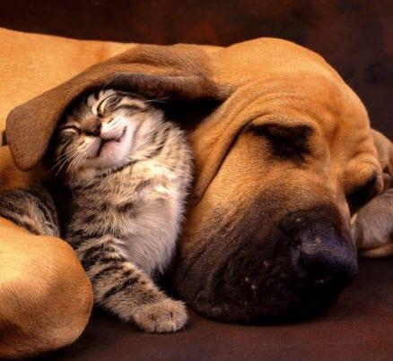 kitten under dogs ear