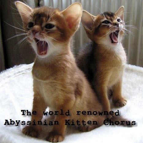 abyssinian kitten chorus